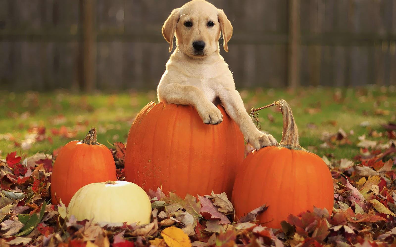 Autumn wallpaper with a dog in a Halloween pumpkin HD dog background 1600x1000