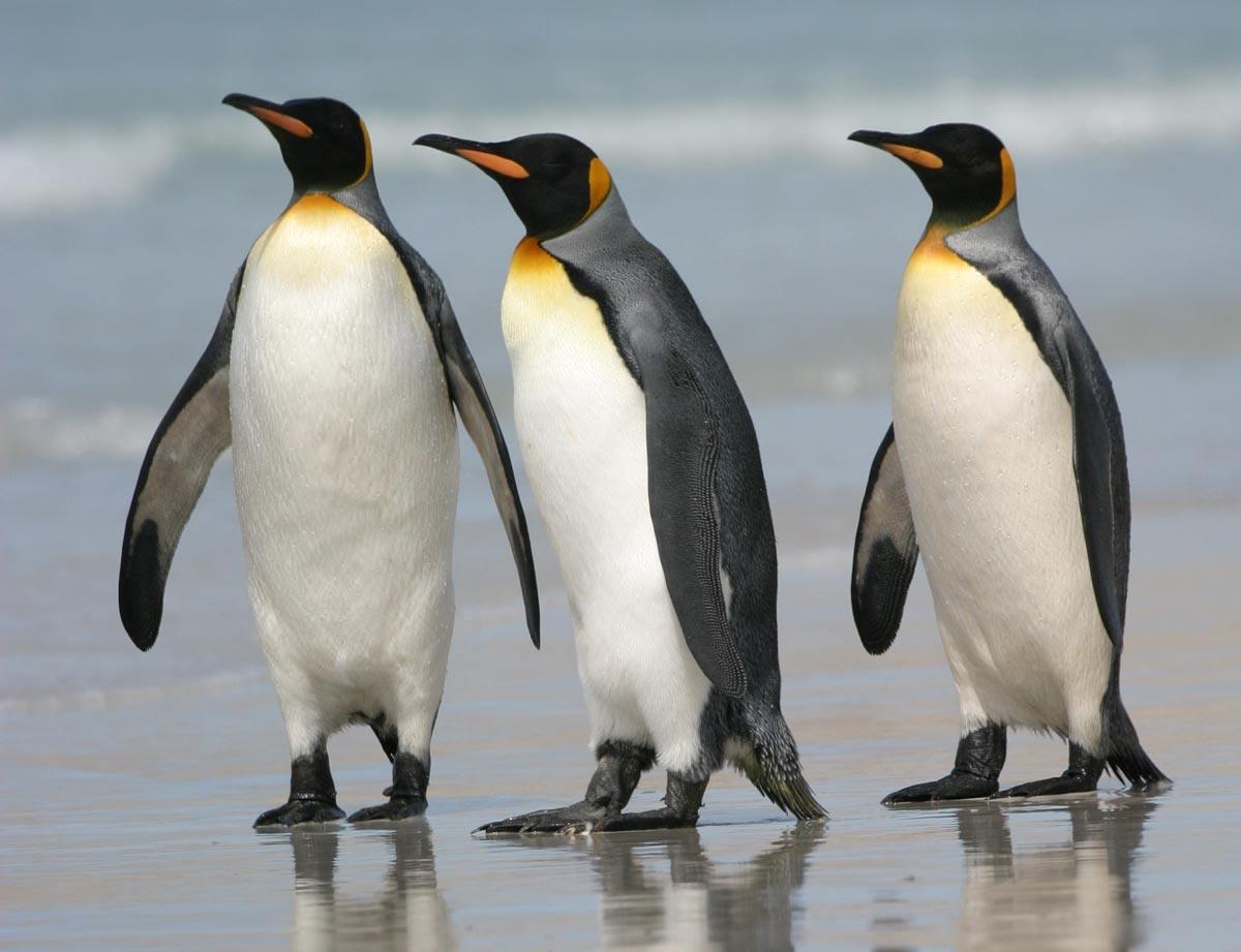 King Penguin Wallpaper download   Animals Town 1200x921