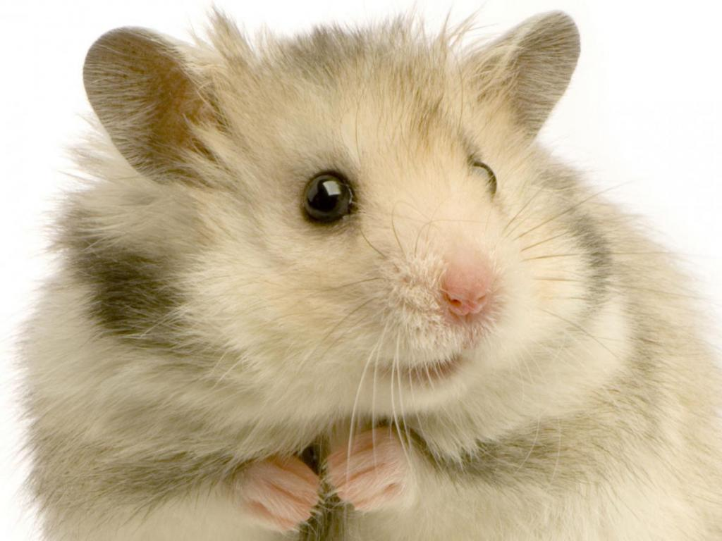 Hamster   126749   High Quality and Resolution Wallpapers on 1024x768