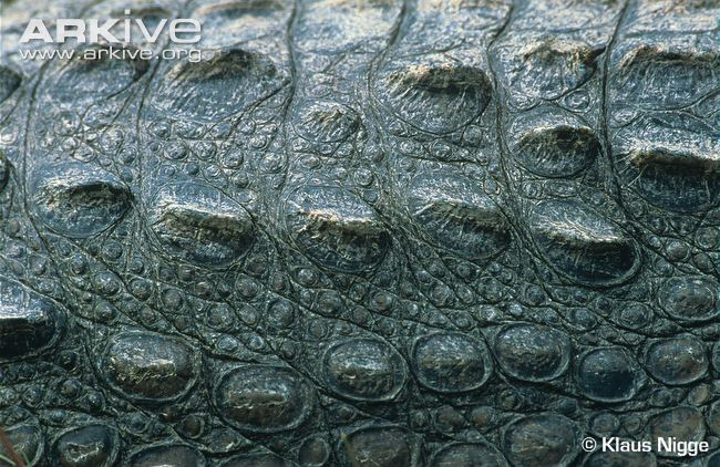 32 Crocodile Skin Wallpapers 650x422