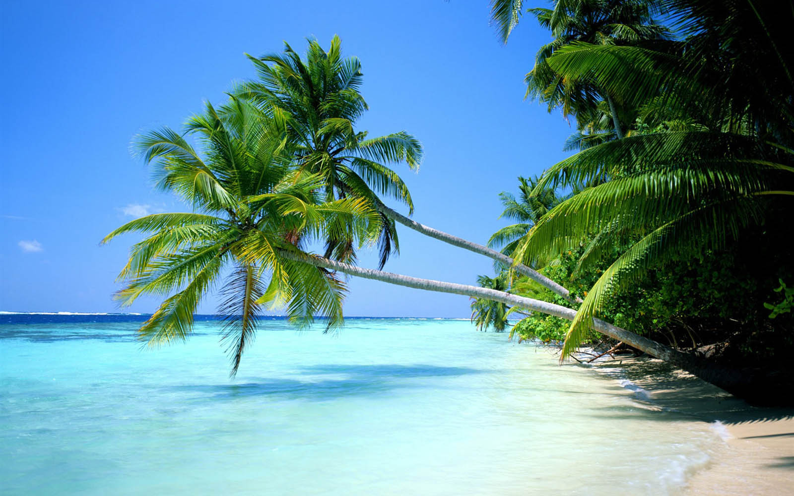 Tag Coconut Tree Wallpapers BackgroundsPhotos Images and Pictures 1600x1000