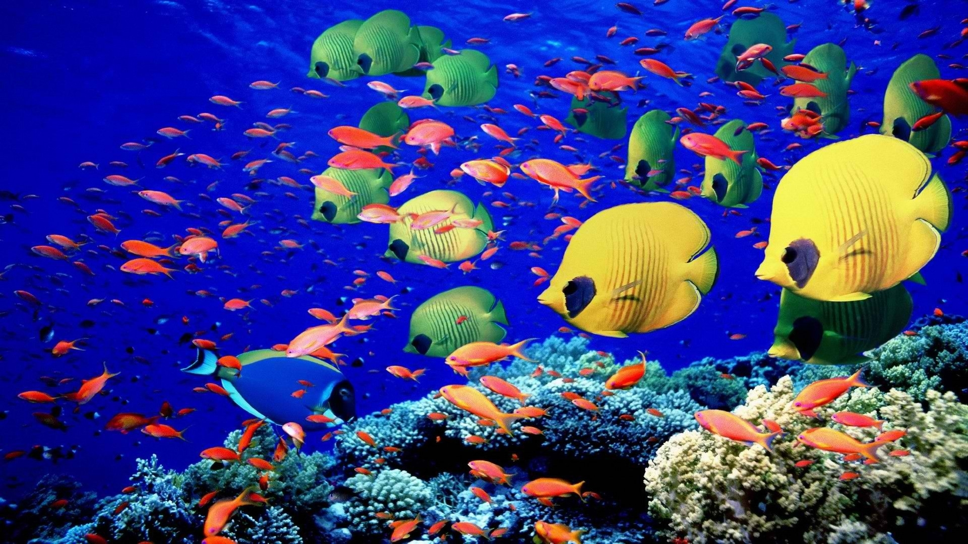 fishes underwater swim coral reef colors bright sea life wallpaper 1920x1080