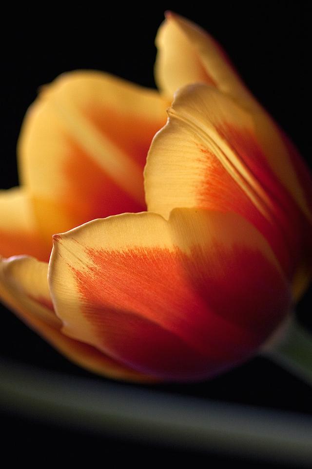 Tulip Flower   iPhone Wallpaper 640x960