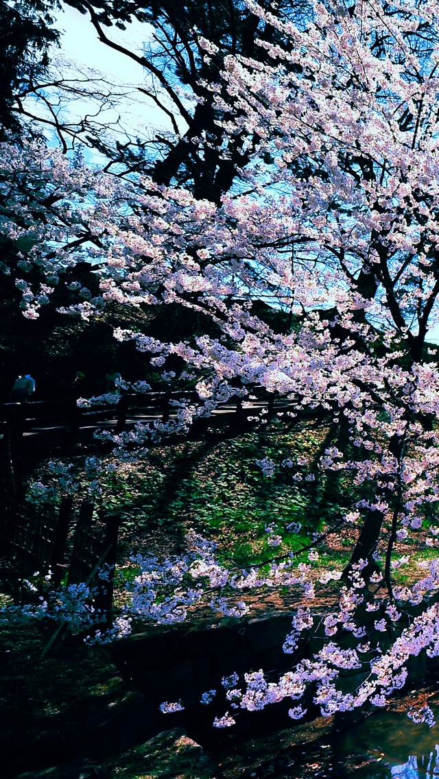Cherry Blossom Trees iPhone 5s Wallpaper Download iPhone Wallpapers 640x1136