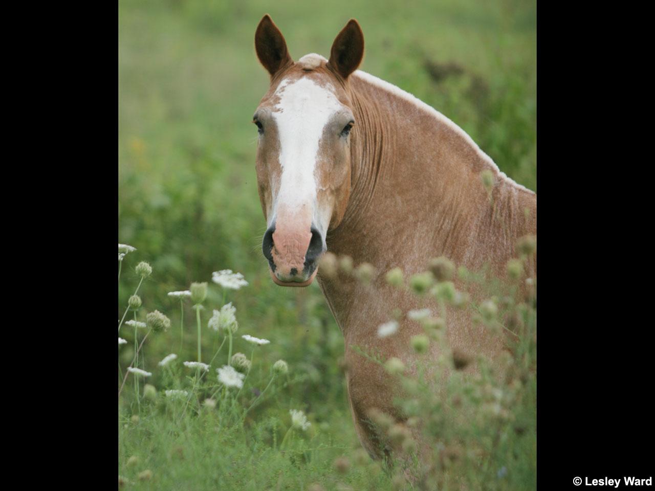 Draft Horse Desktop Wallpapers and Screensaver 1280x960