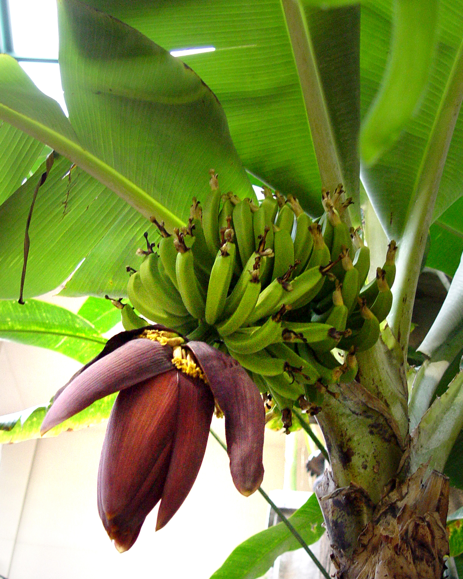 Banana Tree Pictures Banana tree with flower and 1600x2000