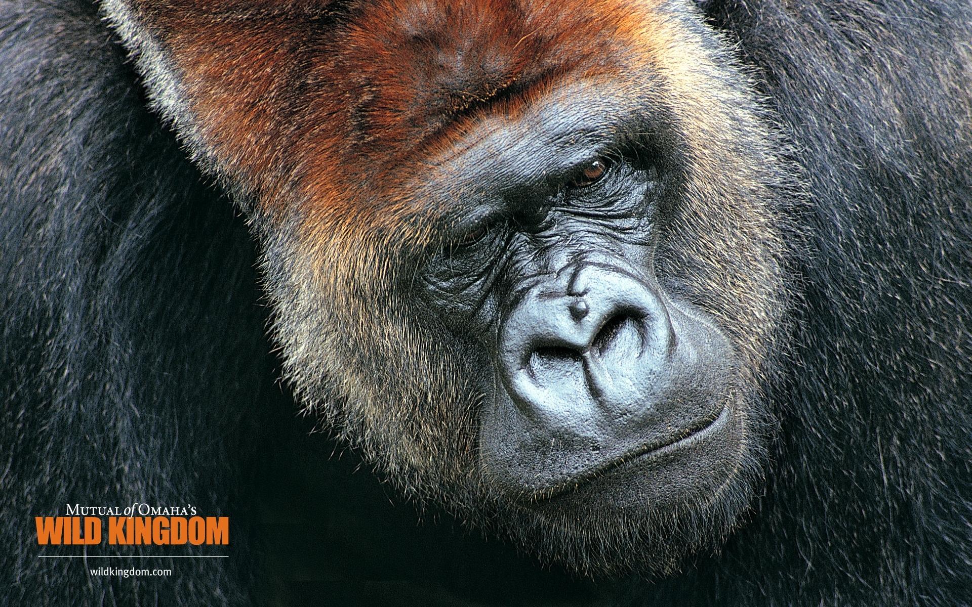 Gorilla wallpapers Gorilla stock photos 1920x1200