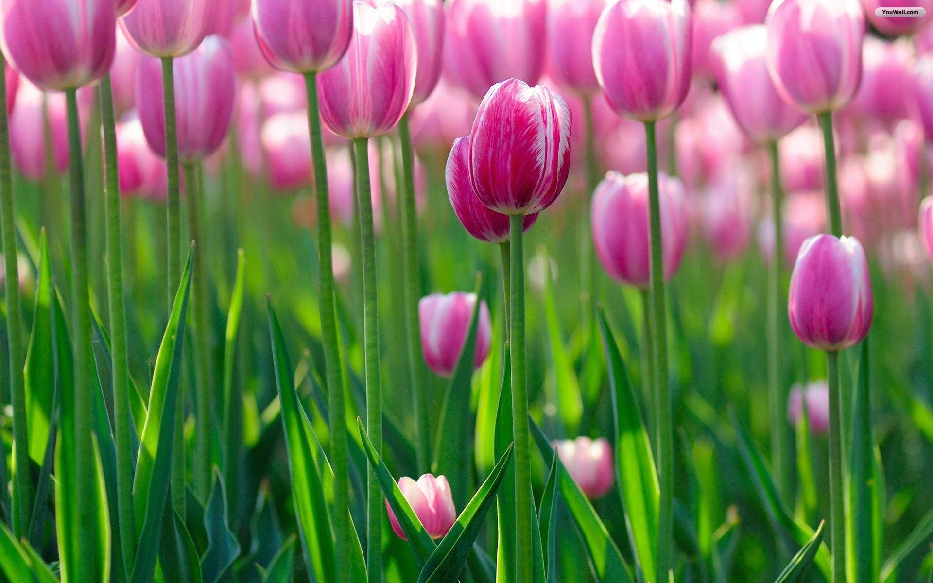 <b>Tulips Wallpapers</b> - <b>Wallpaper</b> Cave