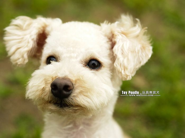 Lovable Toy Poodle Puppy Curly Coat Miniature Poodle Wallpaper 24 700x525