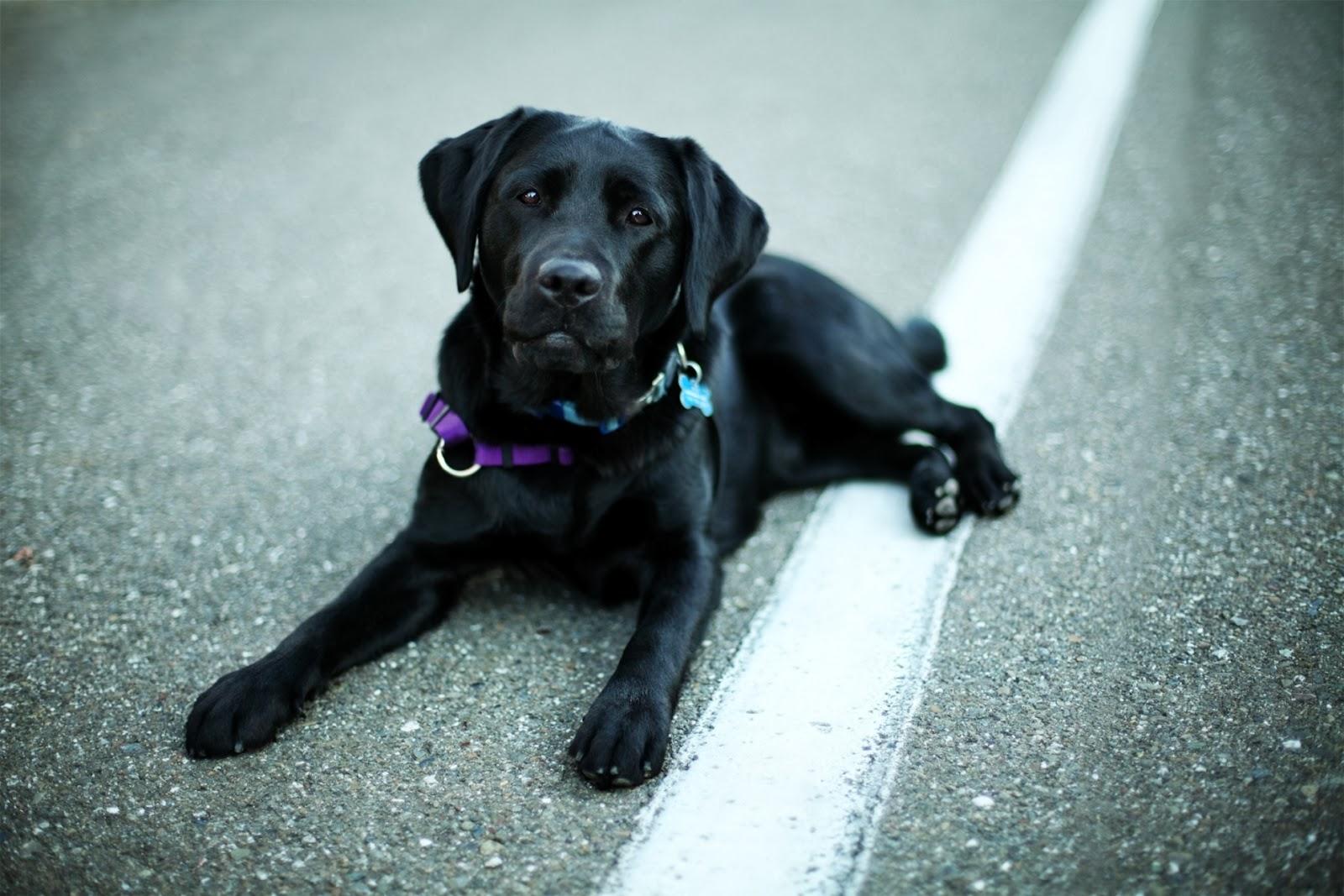 Black Labrador Retriever Wallpaper and Facts Pet Care Tips Advice 1600x1067