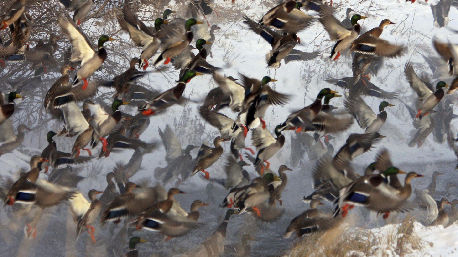 Animals Flock Of Mallards picture nr 40642 1920x1080