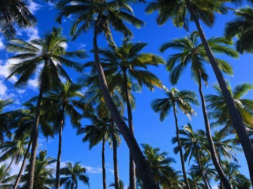 Palm Tree Wallpa 500x375