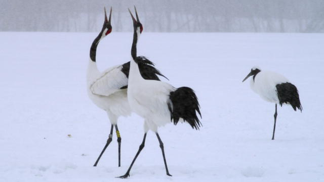 japanese cranes birds image search results 640x360