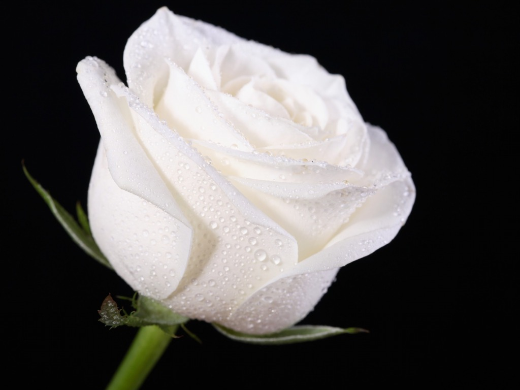 Free Download White Rose Wallpapers Hd Pictures Flowers One
