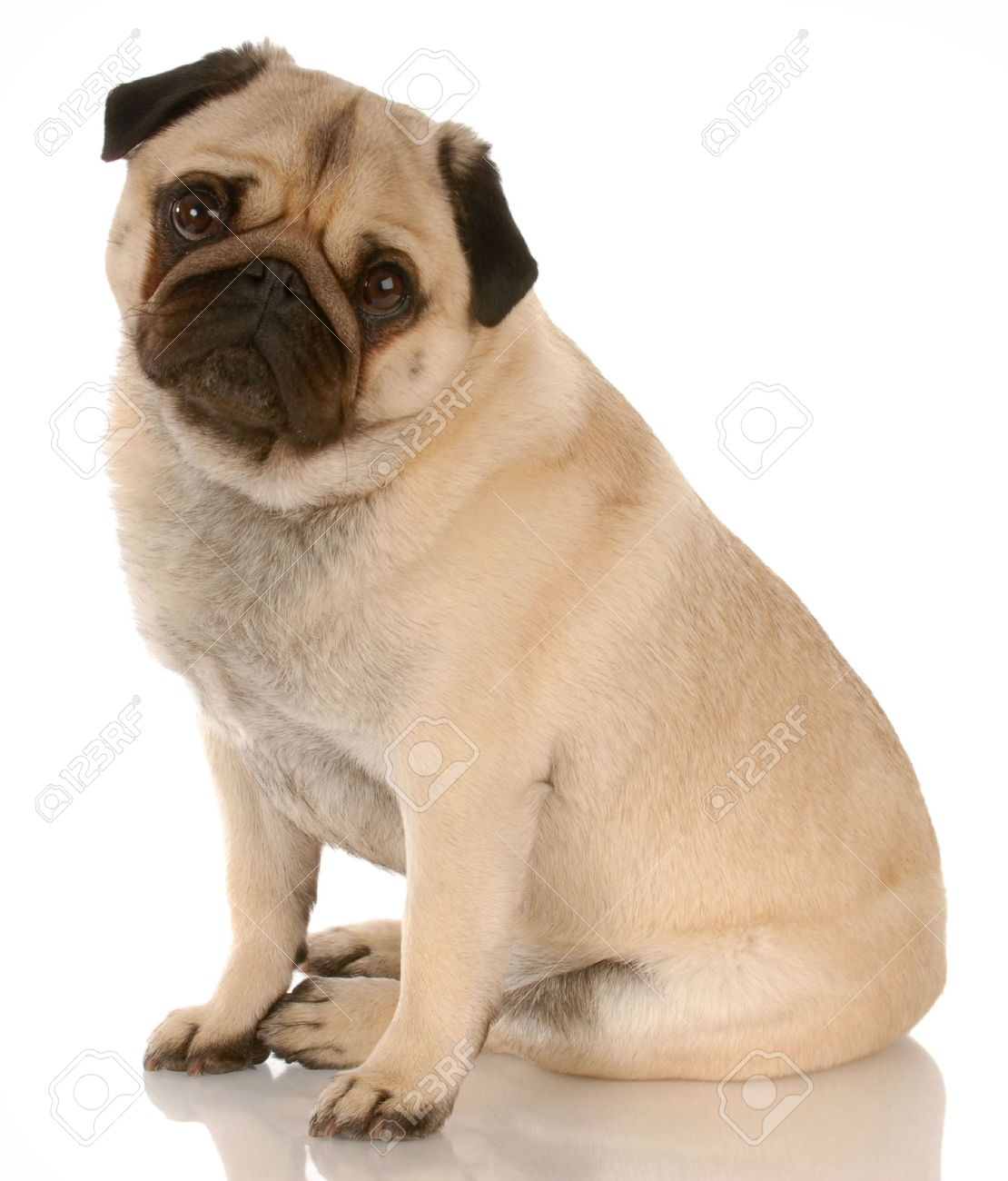 Fawn Pug Dog Sitting With Reflection On White Background Stock 1110x1300