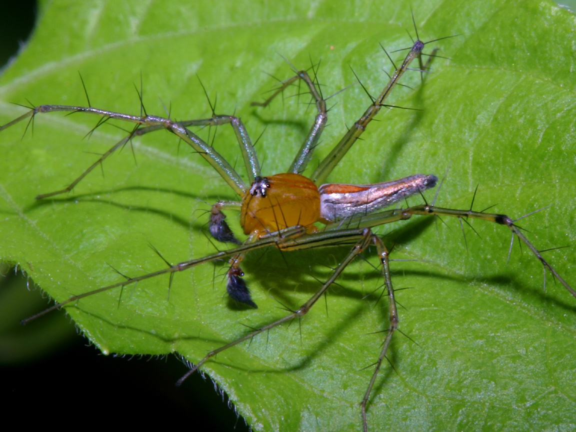 Lynx Spider Wallpaper 1152x864