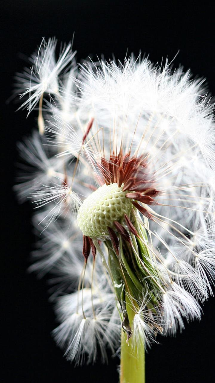 Dandelion Desktop Galaxy S3 720x1280 Samsung Wallpapers_Samsung ...