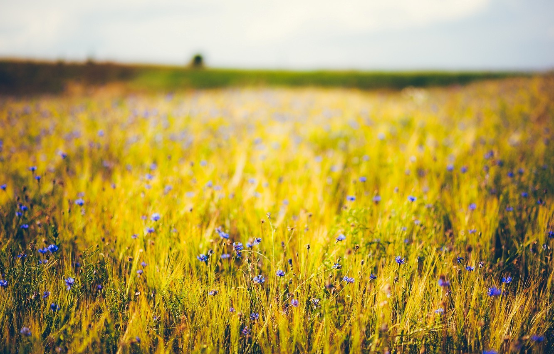 Wallpaper wheat purple flowers blue background widescreen 1332x850