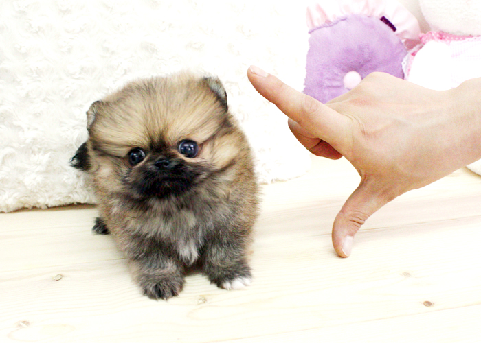 Free download boutique teacup puppies micro teacup