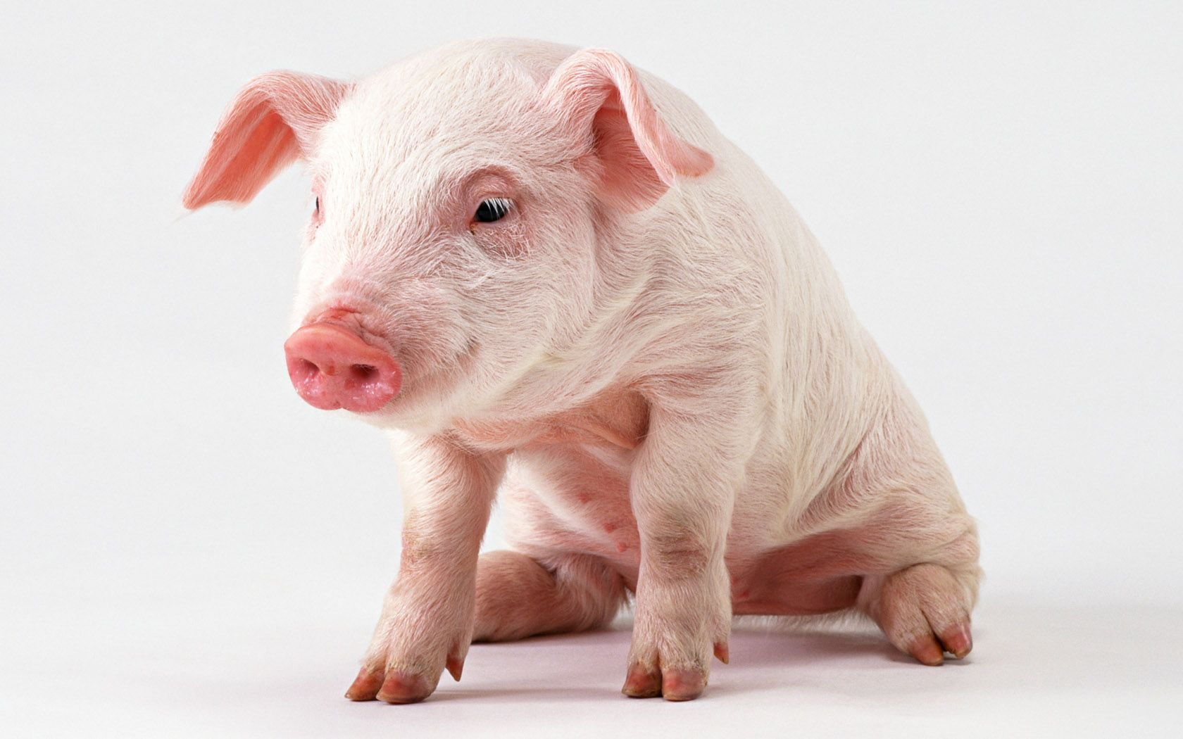 Pink pig wallpapers and images   wallpapers pictures photos 1680x1050