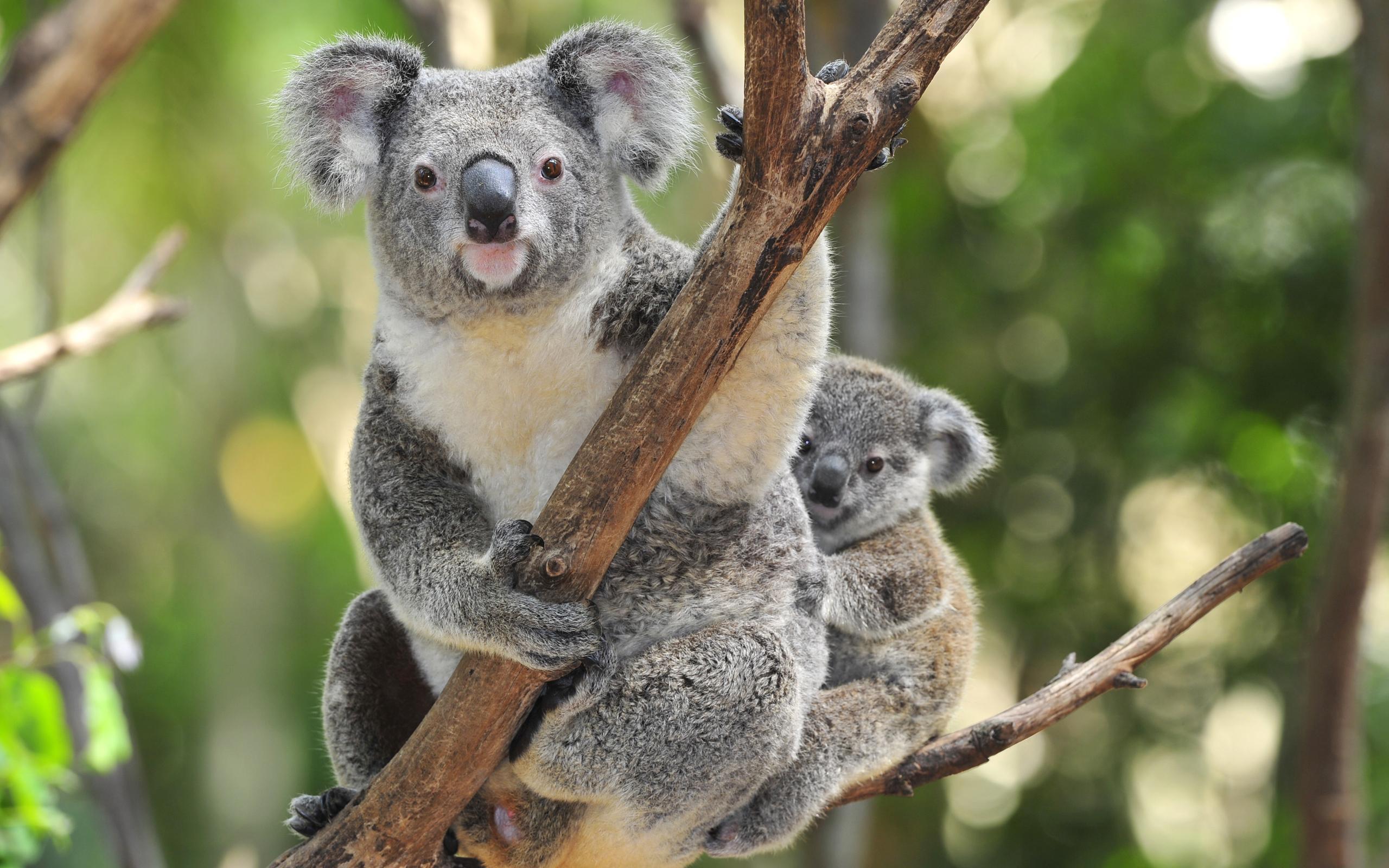 Animal - Koala Wallpaper