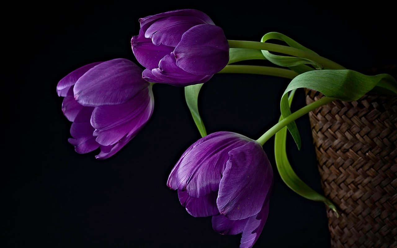 Black Tulips Flowers Nature Background Wallpapers on Desktop