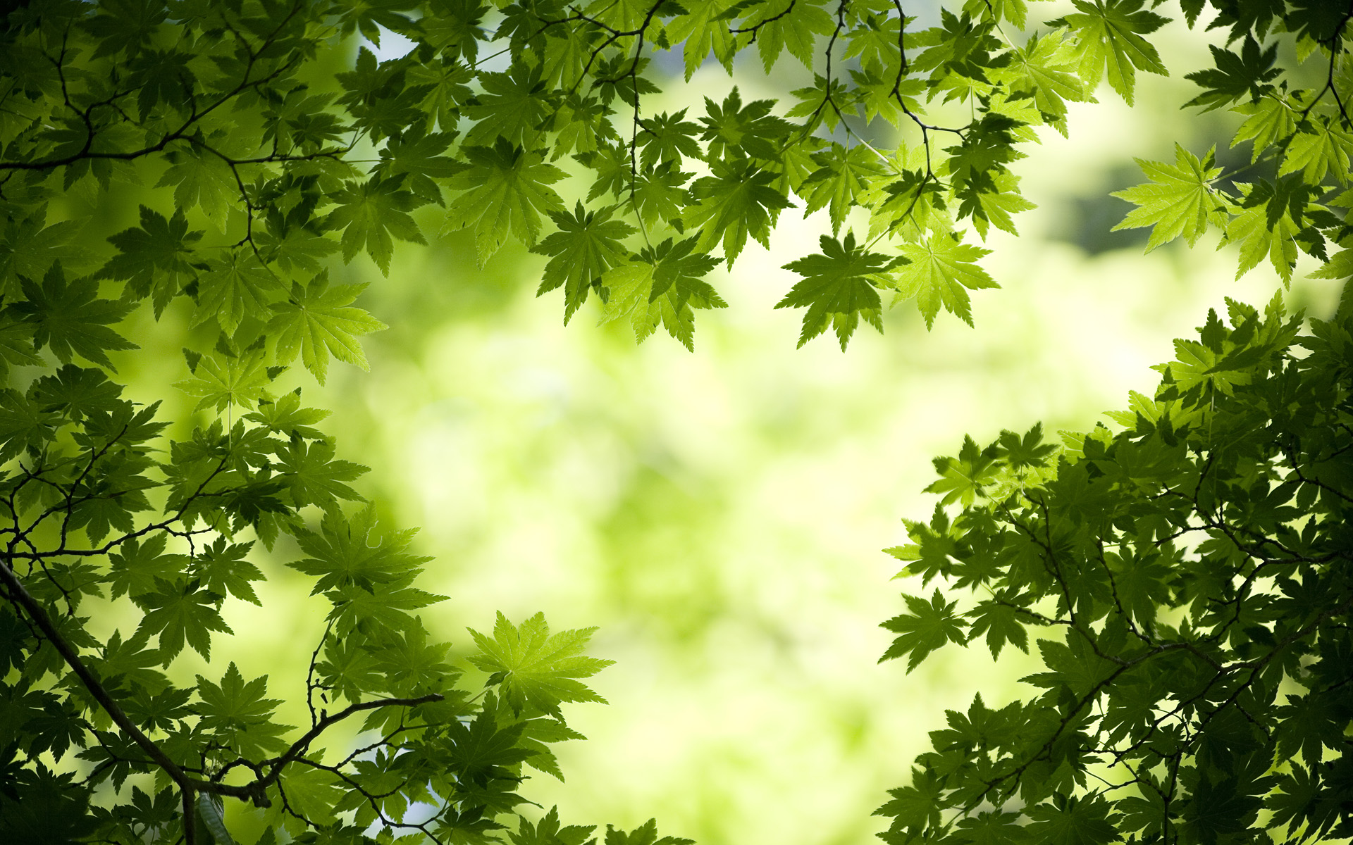 Green Maple Leaves Wallpapers HD Wallpapers 1920x1200
