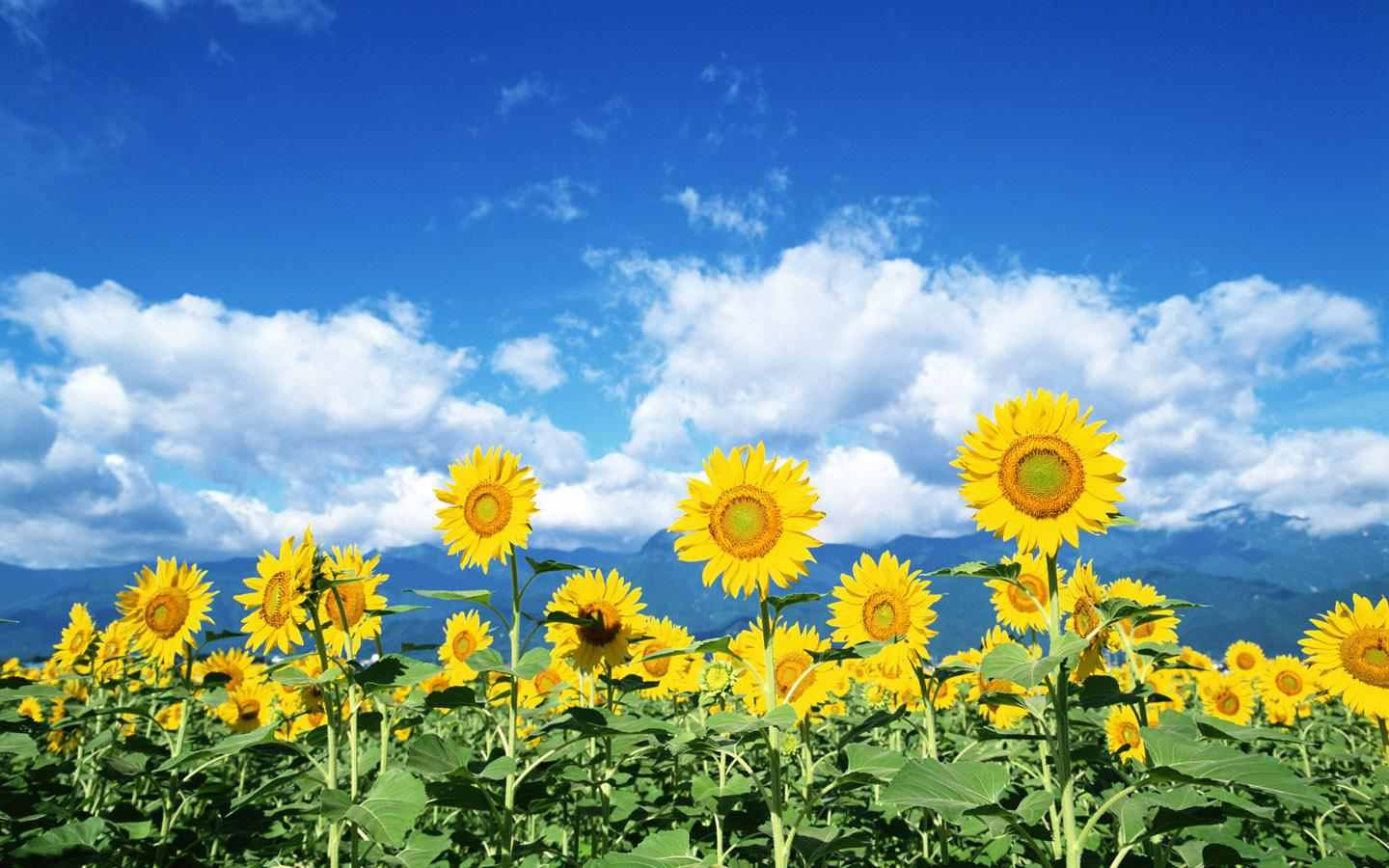 sunflower wallpapers free download