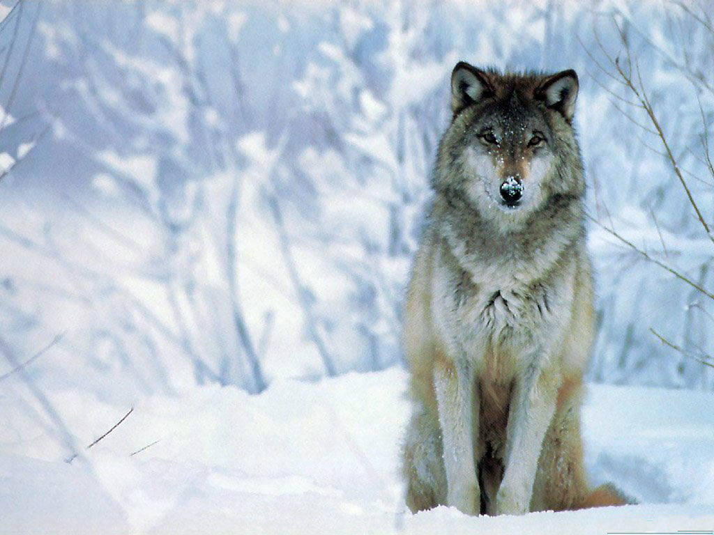 download wolf hd wallpaper widescreen For Desktop 1024x768