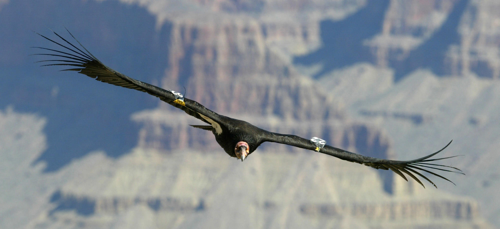 California Condor Release Planned for National Public Lands Day 2000x917