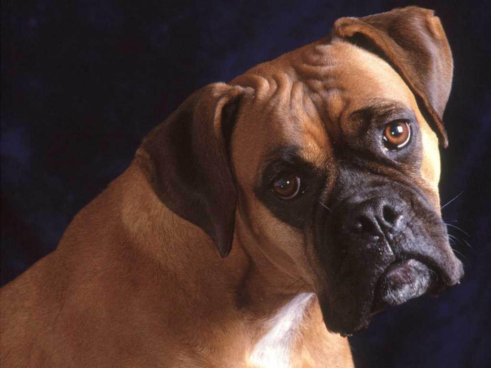 <b>Boxer Dog Background</b> Download Free | PixelsTalk.Net