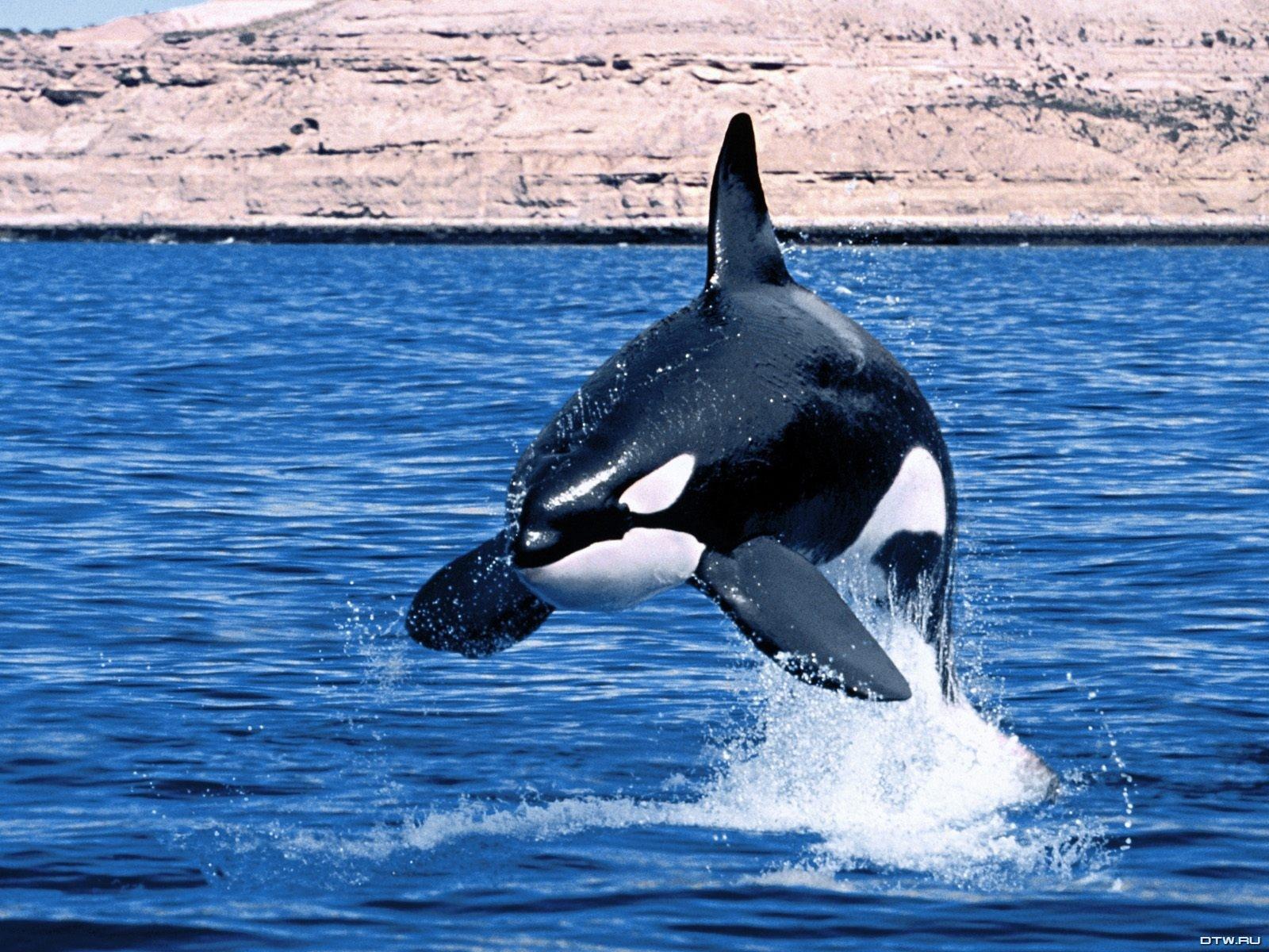 Orca Killer Whale 1600x1200