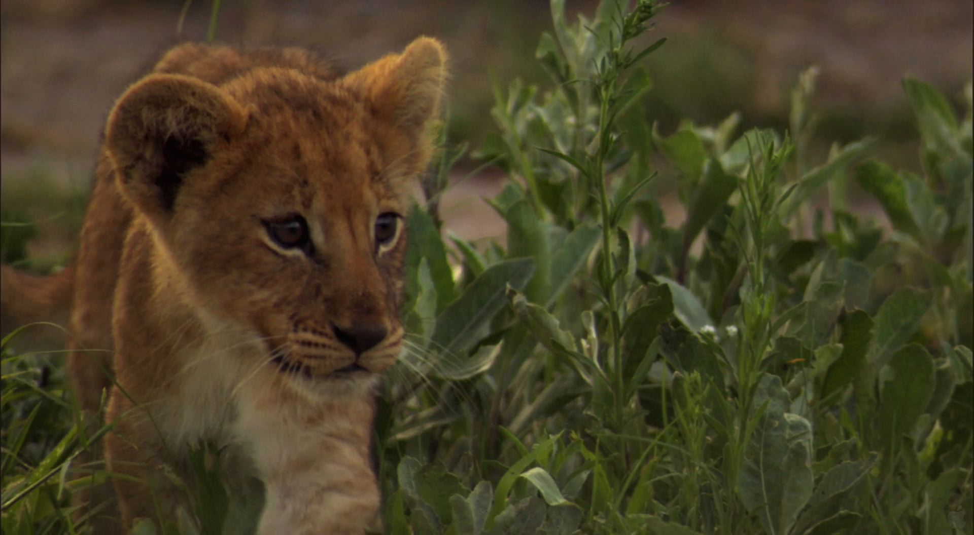 Lion Cub wallpaper   Click picture for high resolution HD wallpaper 1920x1056
