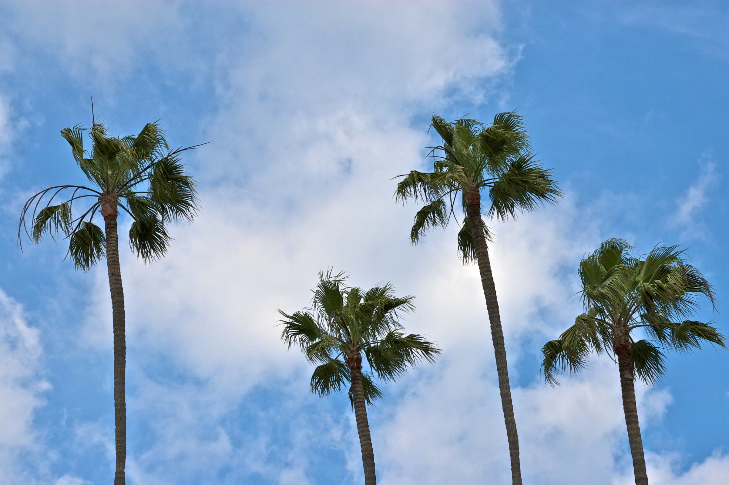 california palm trees wallpaper wallpapersafari