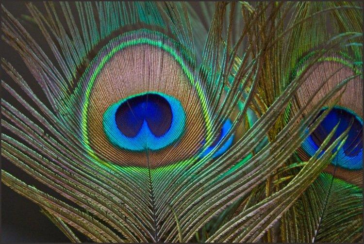 Peacock Feather Wallpaper Wallpapersafari