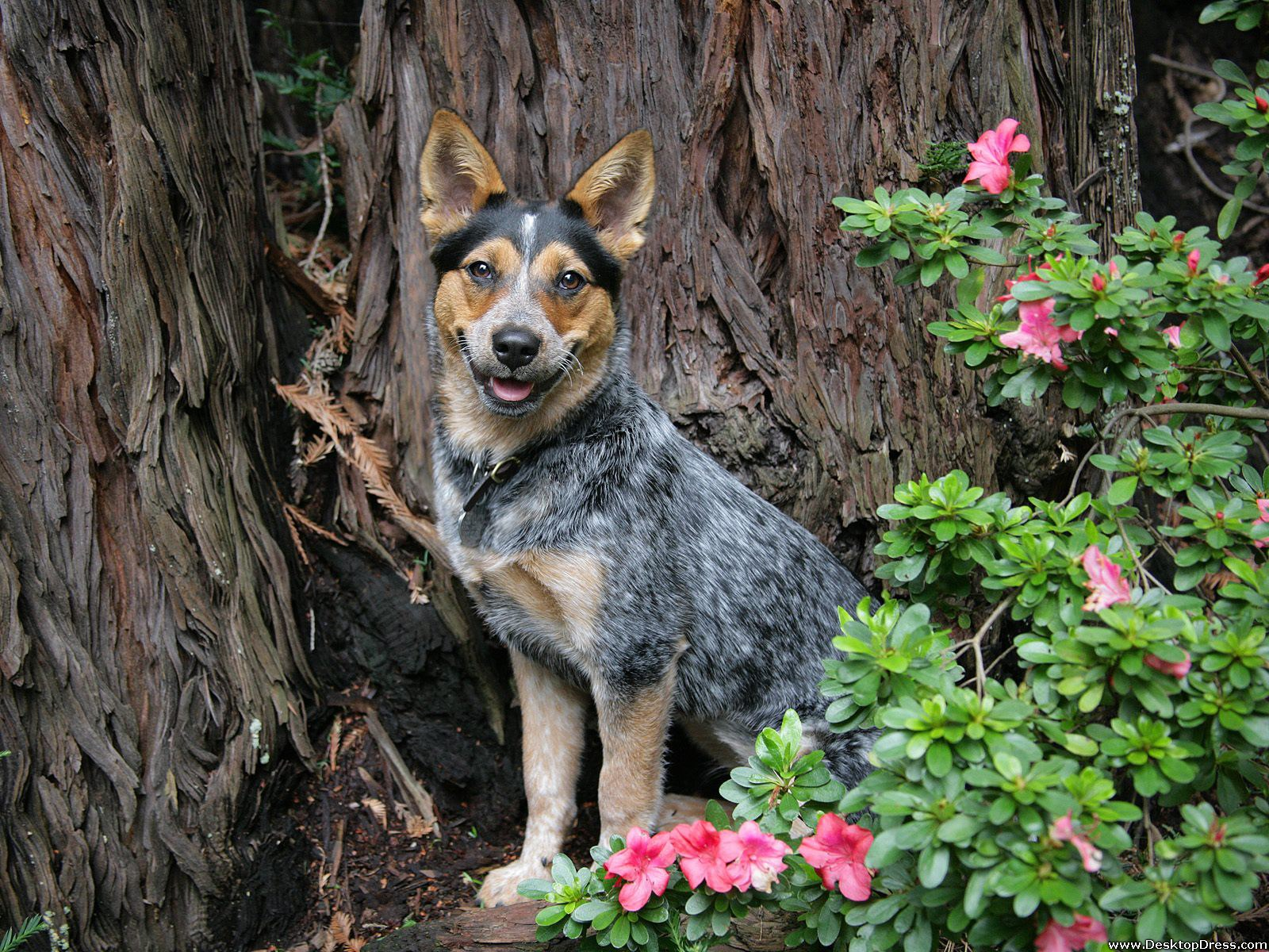 Desktop Wallpapers Animals Backgrounds Trixie Blue Heeler 1600x1200
