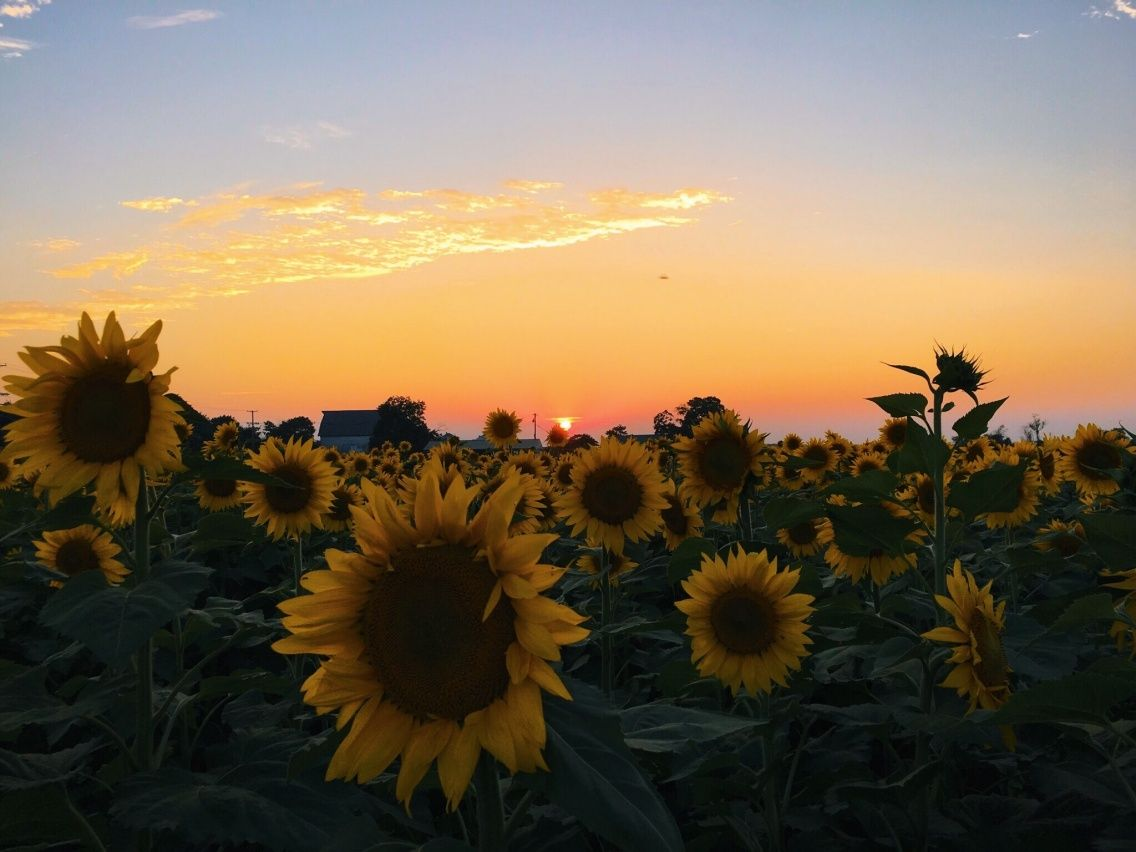 VSCO   sunflower sunset caitymiller With images Sky 1136x852