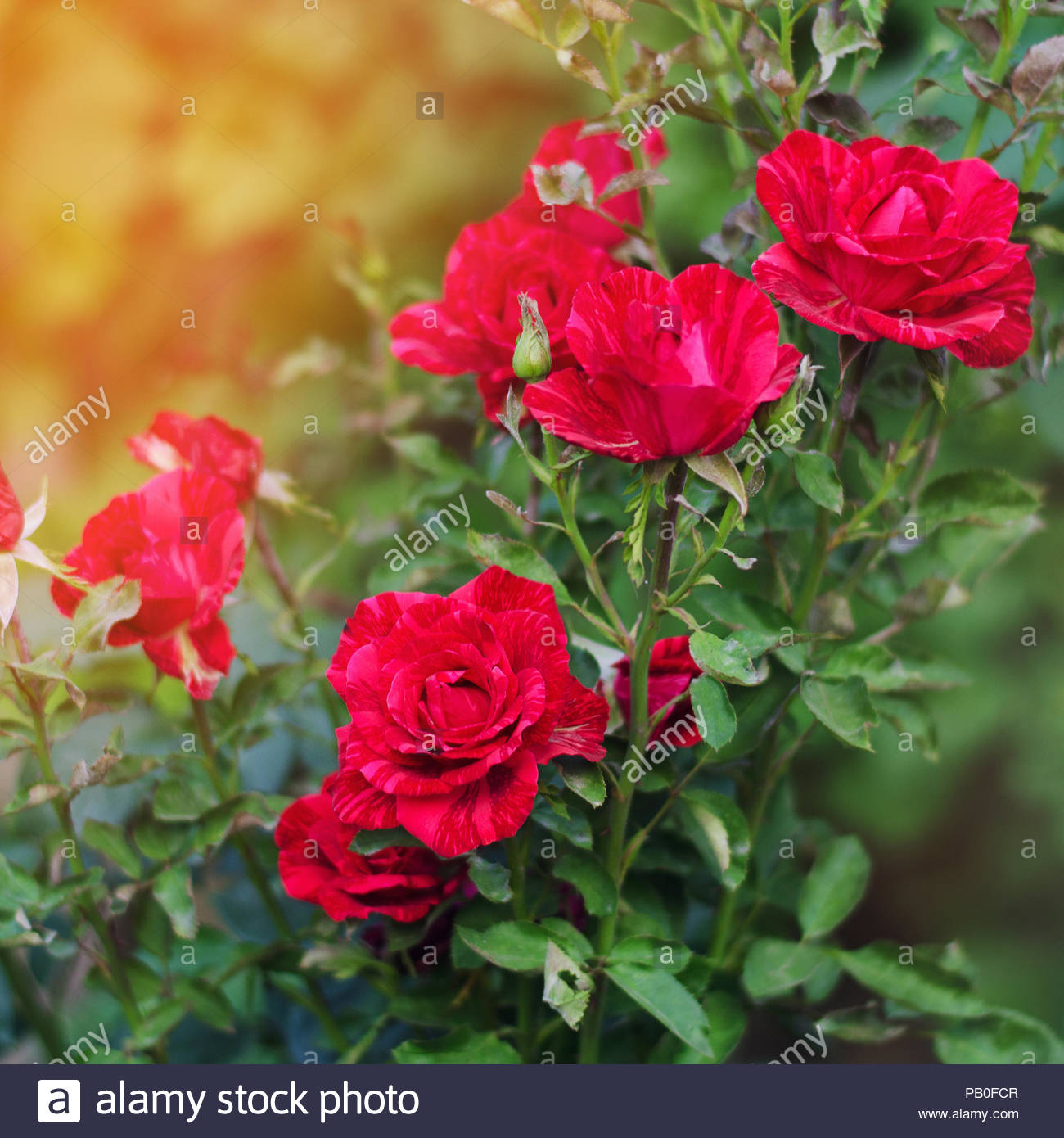 Free Download Beautiful Red Roses In The Garden Nature Wallpaper Flowers Bush 1300x1390 For Your Desktop Mobile Tablet Explore 25 Beautiful Wallpapers Flowers Beautiful Flowers Wallpapers Beautiful Flowers Wallpaper