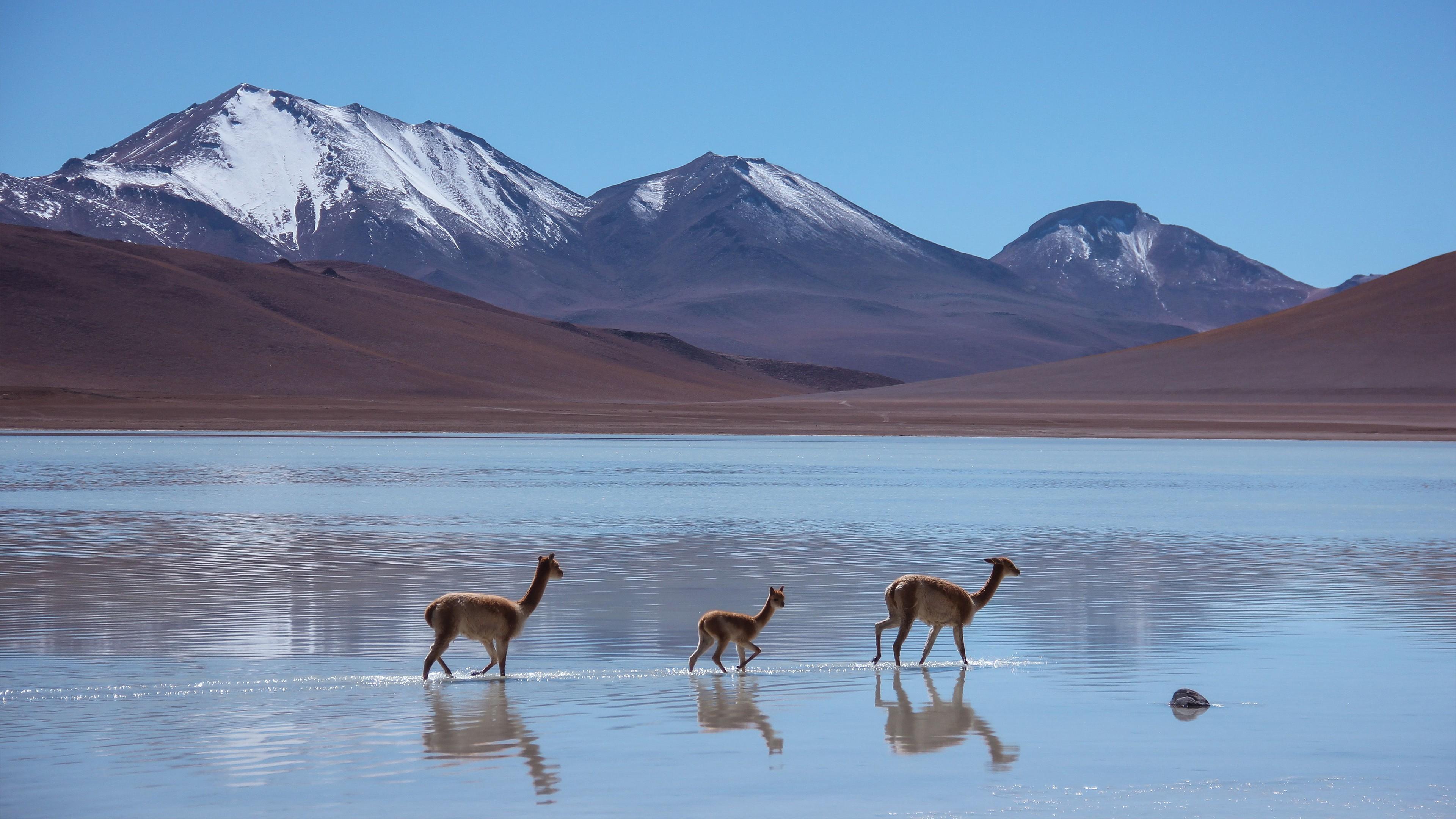 Wallpaper Lama Laguna Blanca Bolivia mountains Animals 8320 3840x2160