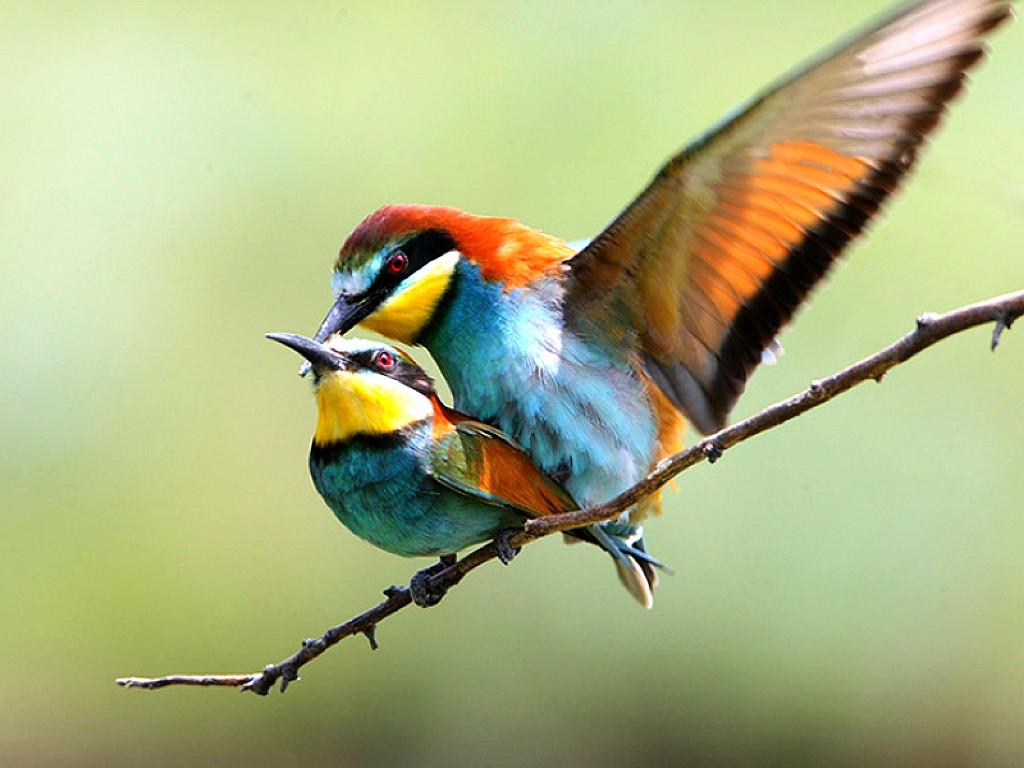 Love Birds Hd Wallpapers: Wallpaper Of Love Birds