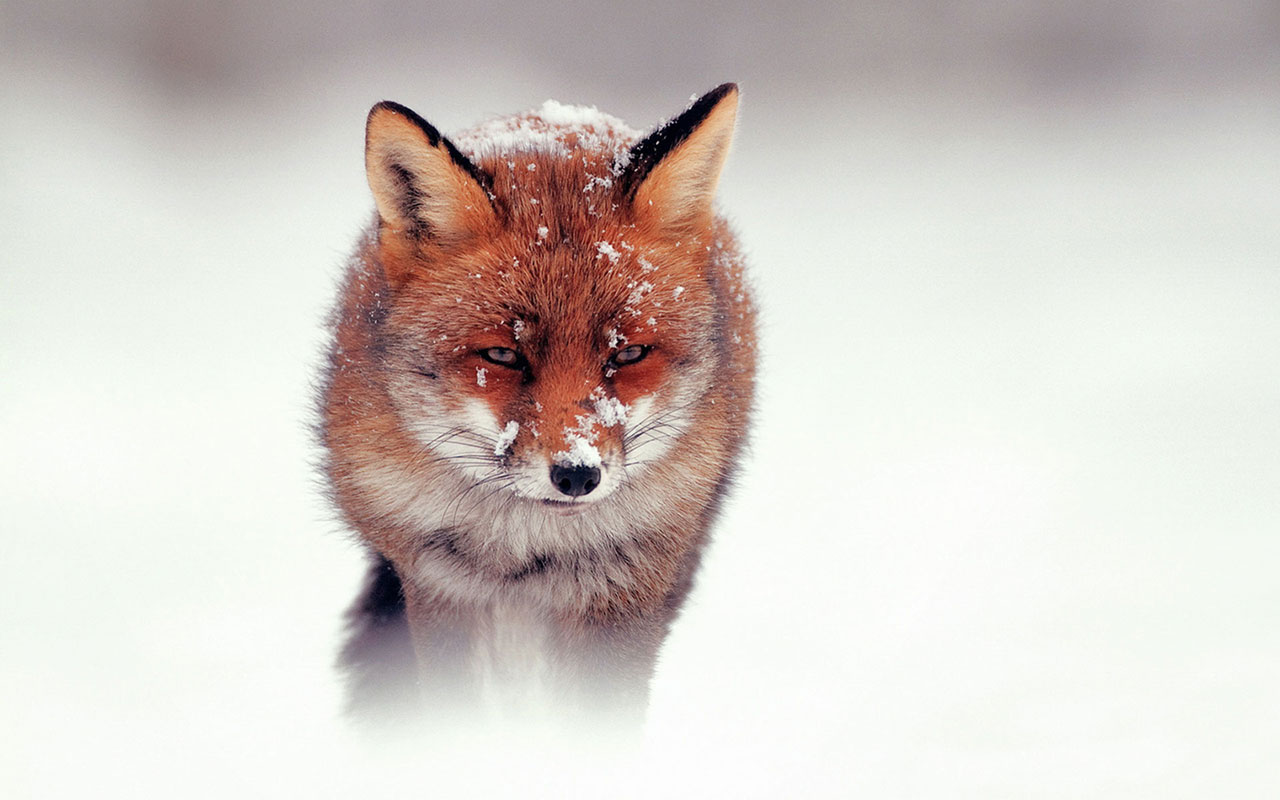 animal wallpapers snow fox hd photography wallpaper 10 the snow fox hd 1280x800