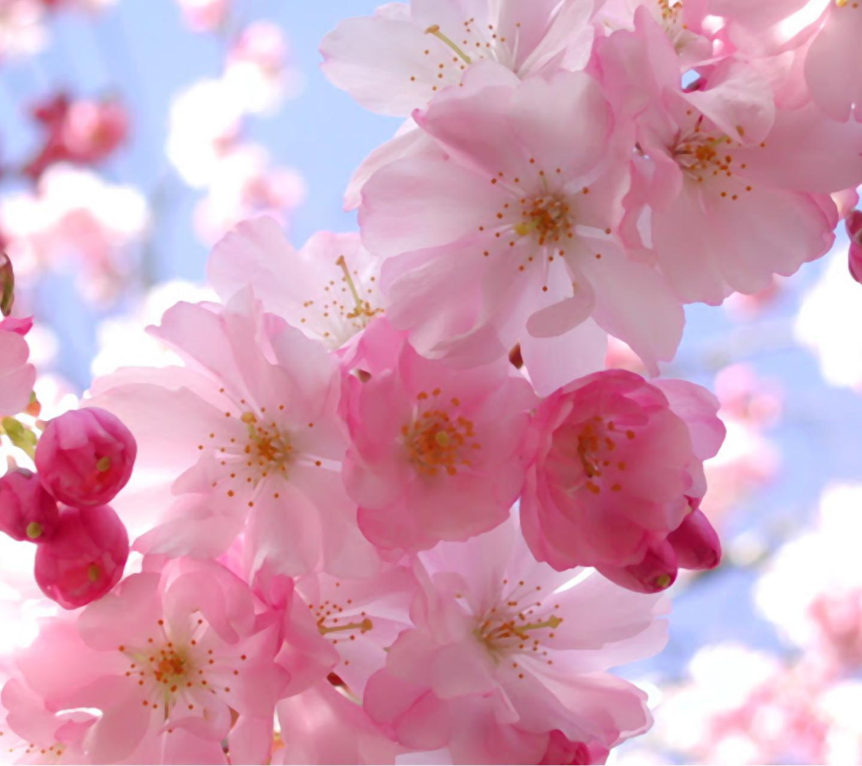 Free Download Flowers 1440x1280 Screensaver Wallpaper