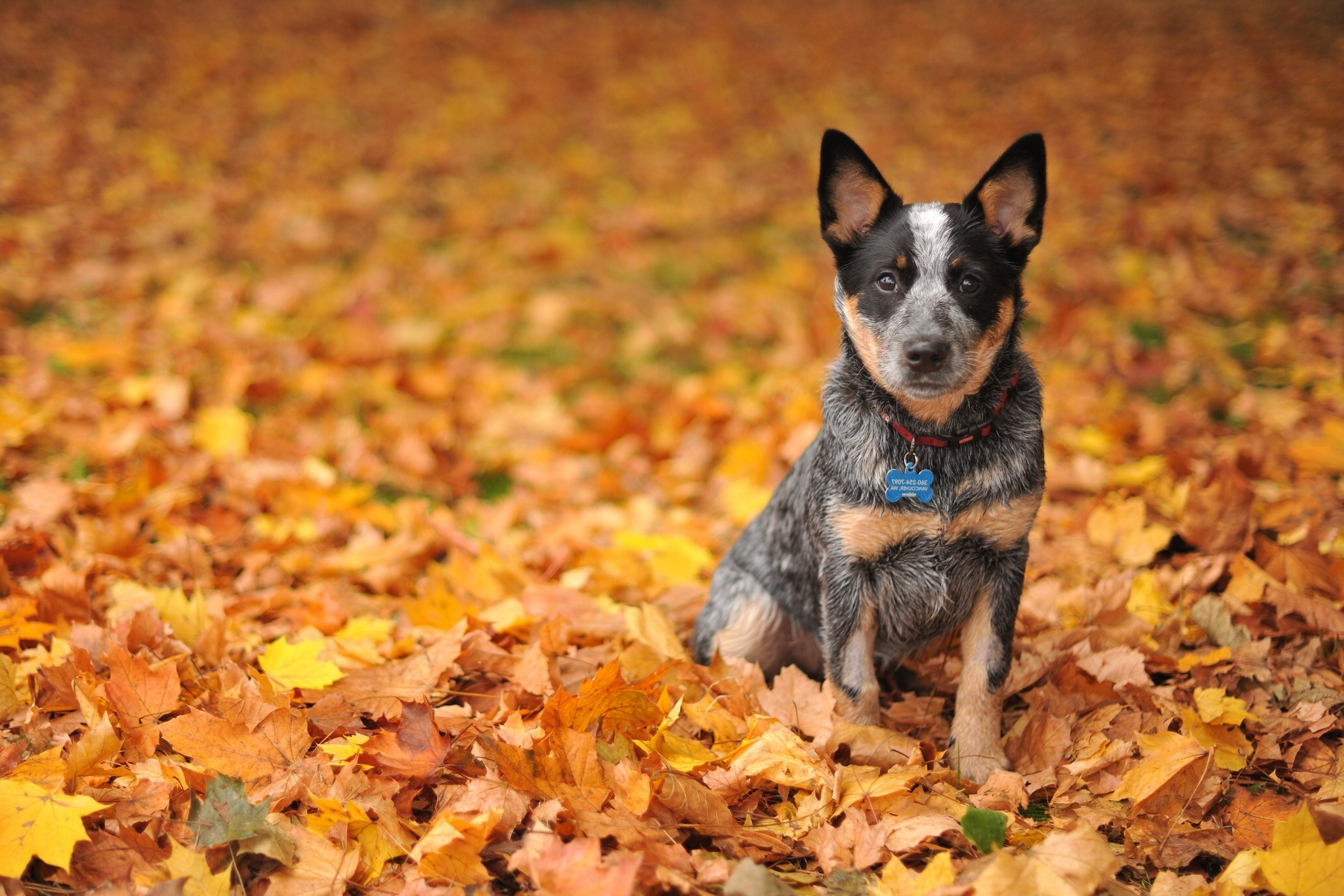 australian Heeler Leaves Autumn Wallpapers HD Desktop and 2048x1365