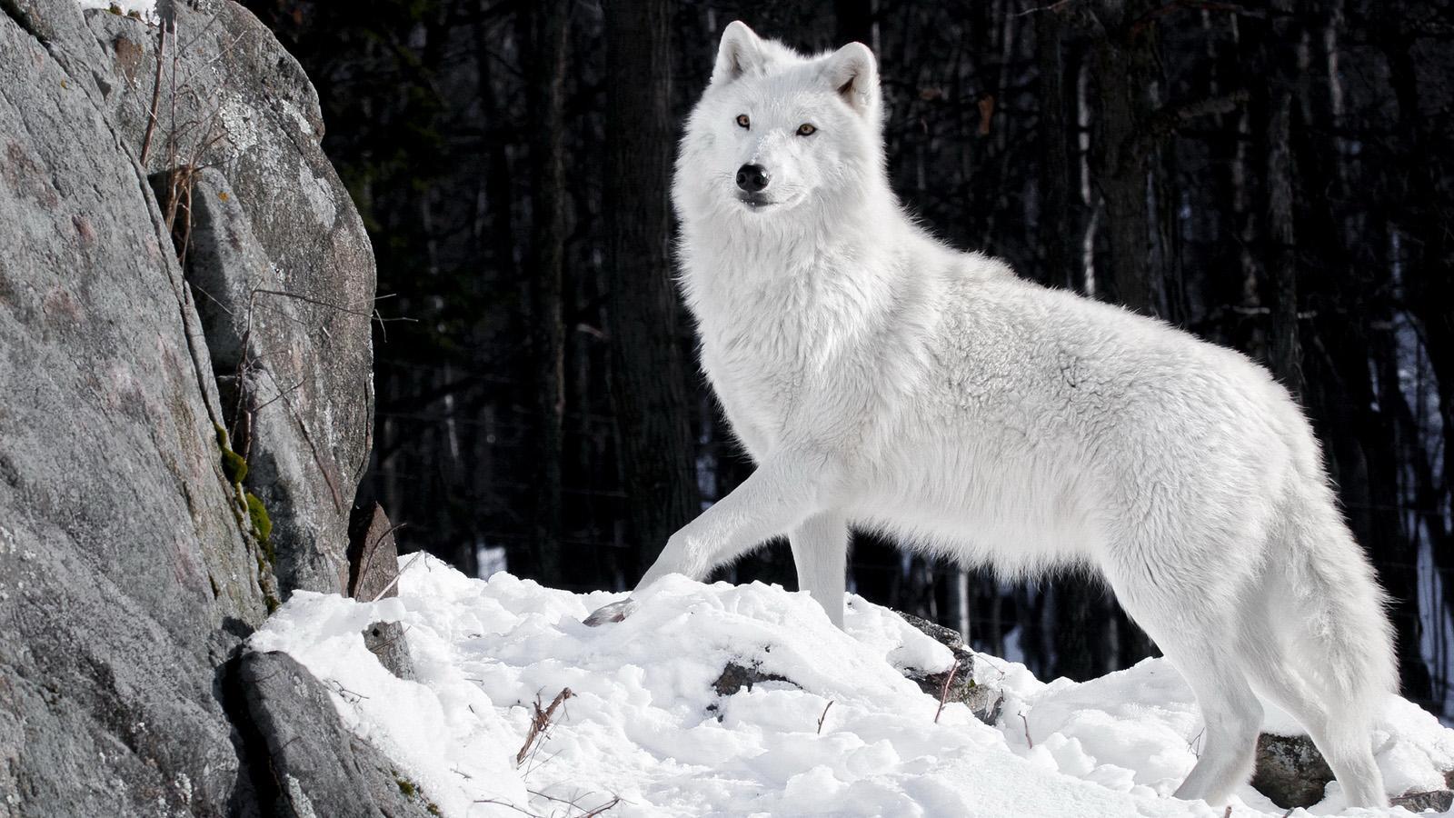Wolf HD Wallpaper Live   screenshot 1600x900