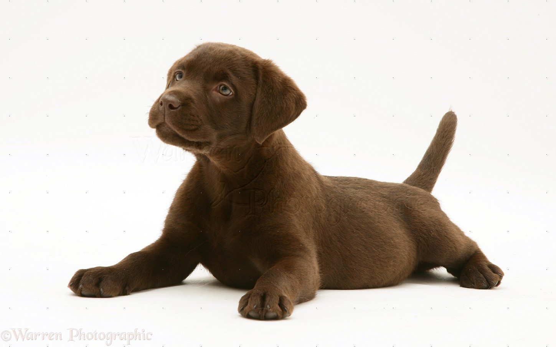 20818 Chocolate Labrador Retriever pup white backgroundjpg 1449x904