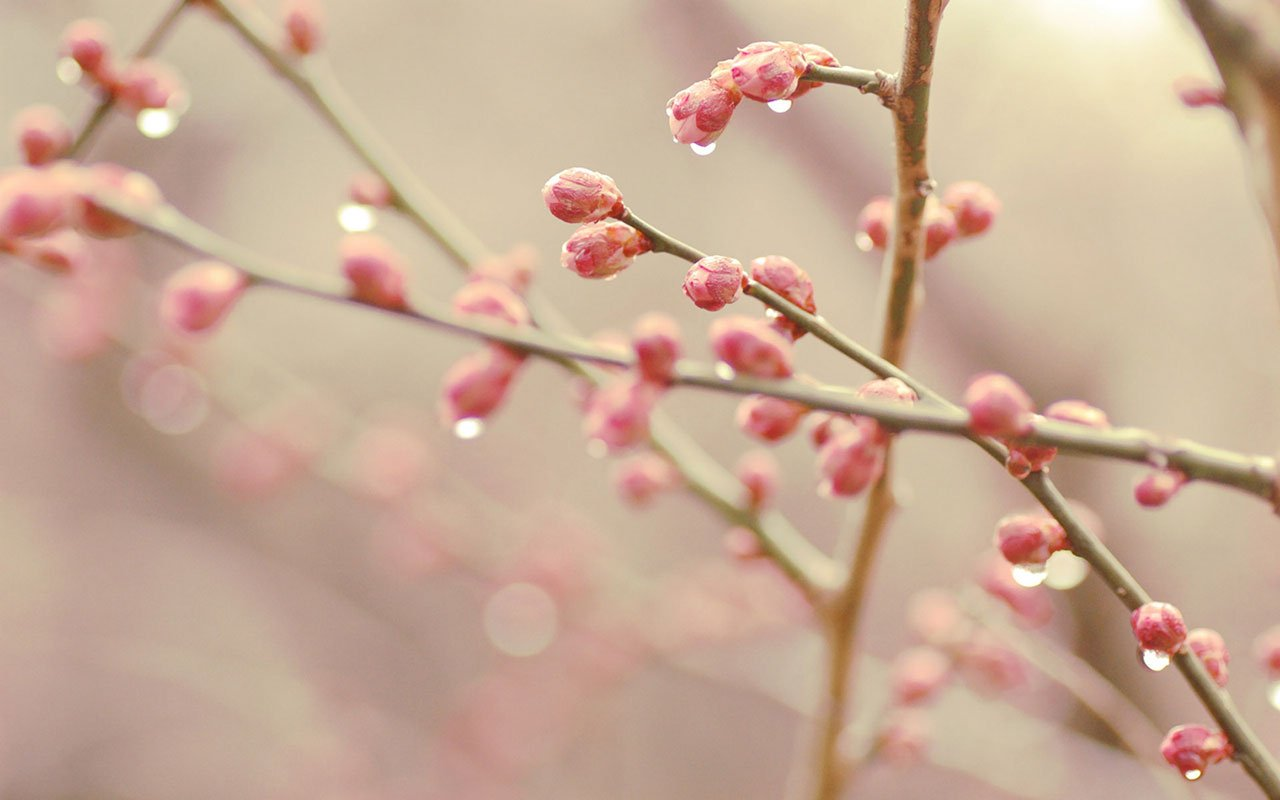 spring branches bud hd wallpapers 11 spring branches bud wallpaper bud 1280x800
