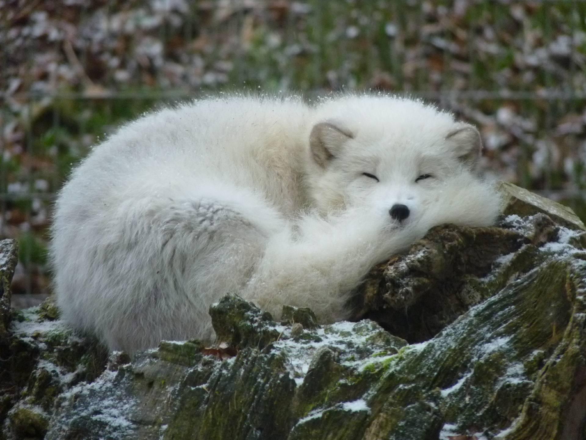 Arctic Fox Wallpaper Wallpapersafari