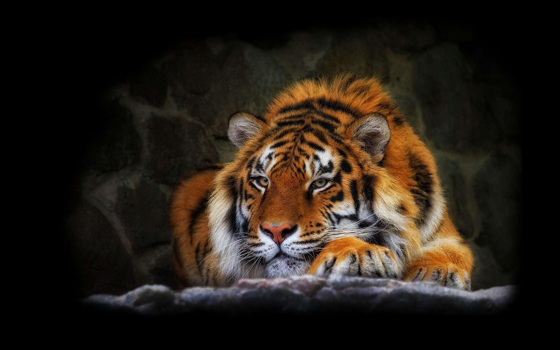tiger wallpaper tiger lily flower tiger desktop backgrounds tiger 1920x1200