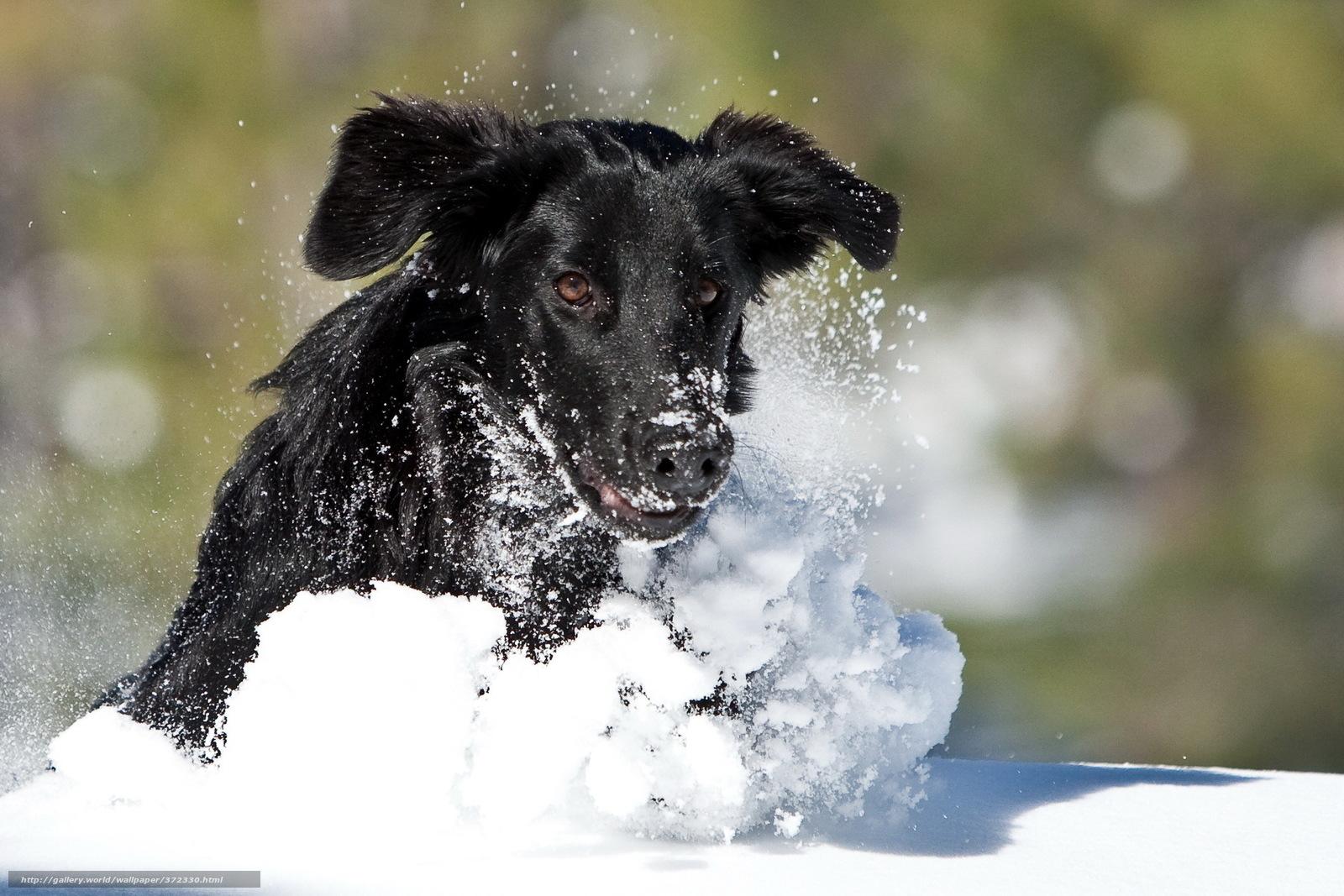 Download wallpaper dog, Winter, snow, run free desktop wallpaper in ...