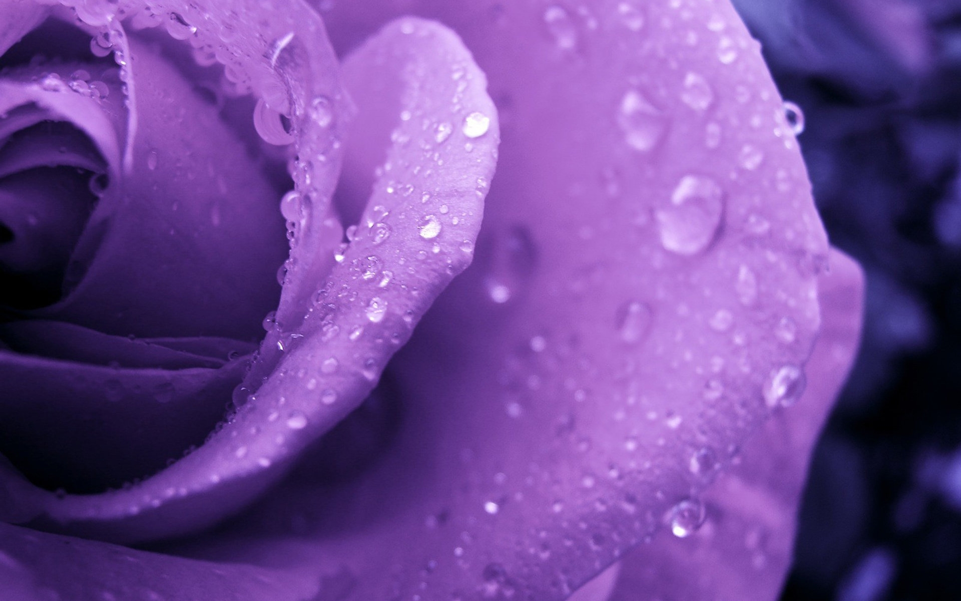 Purple Roses Backgrounds   Wallpaper High Definition High Quality 1920x1200